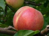 зимний сорт яблони Болотовское