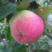 лений сорт яблони Грушовка Московская