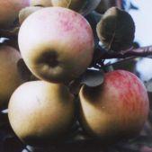 летний  сорт яблони Юбиляр