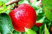 зимний сорт яблони Корнел Ред