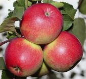зимний сорт яблони Красное зимнее