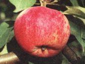 летний сорт яблони Орловим