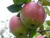 зимний сорт яблони Орловское полесье