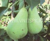 зимний сорт груши Первомайская