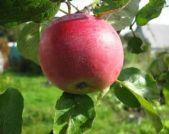 летний сорт яблони Ред Мельба