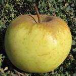 осенний сорт яблони Ренет Бурхардта
