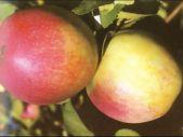 зимний сорт яблони Строевское