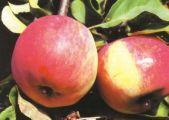 зимний сорт яблони Свежесть