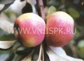 зимний сорт яблони Восход