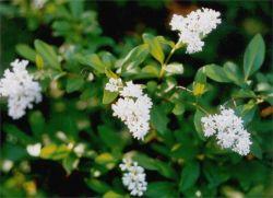 цветение бирючины из питомника Косицыных Воронеж