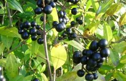 плоды бирючины из питомника Косицыных