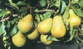 груши сорт Тимирязевской сельхозакадемии
