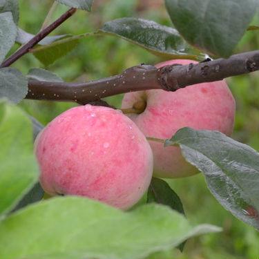 Мелба летний сорт яблони