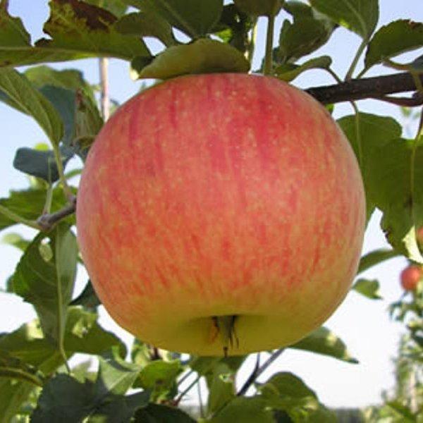 Орловское Полосатое осенний сорт яблони