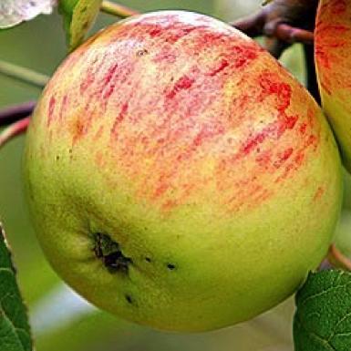 Призовое зимний сорт яблони