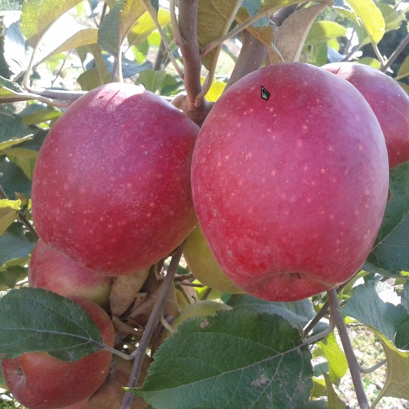 Синап Алматинский зимний сорт яблони