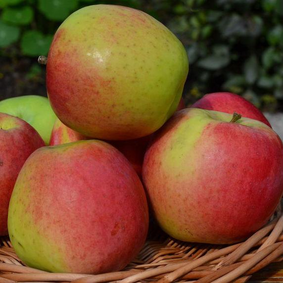 Скала осенний сорт яблони