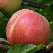 Болотовское осенний сорт яблони
