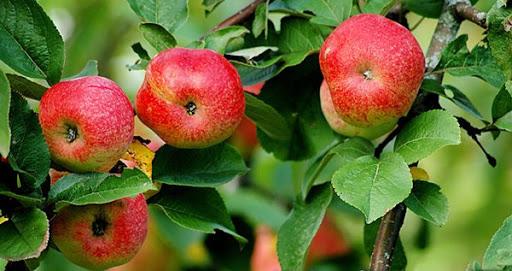 летний сорт яблони Бельфлер китайка