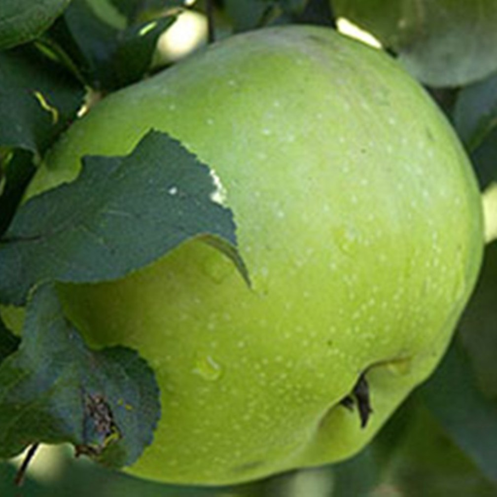 Синап орловский зимний сорт яблони