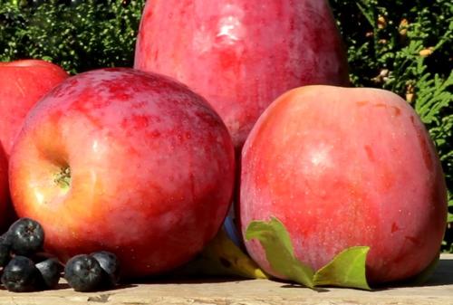 Памяти Ульянищева зимний сорт яблони