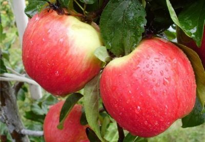 летний сорт яблони Женева